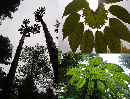 Brassaiopsis mitis, jardin jungle