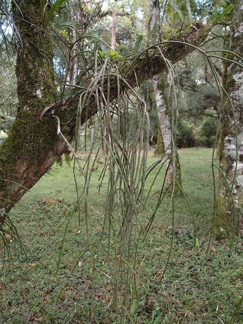 Rhipsalis floccosa pulvinigera, Rhipsalis rustique, cold hardy Rhipsalis