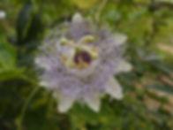 Passiflora 'jardin jungle 53'.JPG