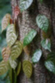 Ficus sarmentosa henryi, jardin jungle, normandie