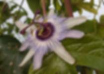 Passiflora 'jardin jungle 68'.JPG