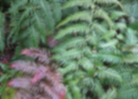 Woodwardia unigemmata, jardin jungle karlostachys, jardin a visiter en normandie