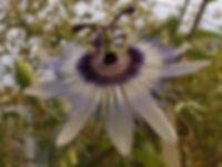 Passiflora 'jardin jungle 89' passiflores rustiques