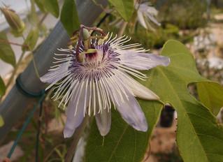 Passiflora 'jardin jungle 39'