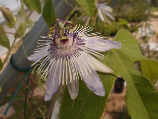 Passiflora 'jardin jungle 39'