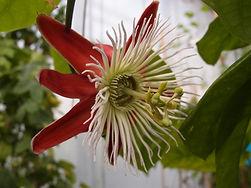 Passiflora 'Wilgen Heintje' , jardin exotique karlostachys