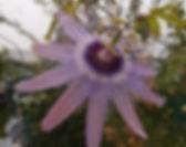 Passiflora 'jardin jungle 9' passiflore rose résistante au froid