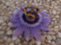 Passiflora 'jardin jungle 83', passiflore rustique, cold hardy passiflora