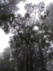 Schefflera taiwaniana CHB11.T6, jardin jungle