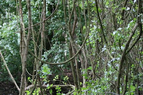 Lianes au jardin jungle, parc exotique en normandie