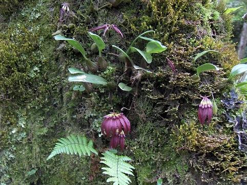 Bulbophyllum gongshanense.jpg