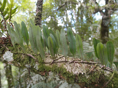 Microgramma squamulosa.JPG