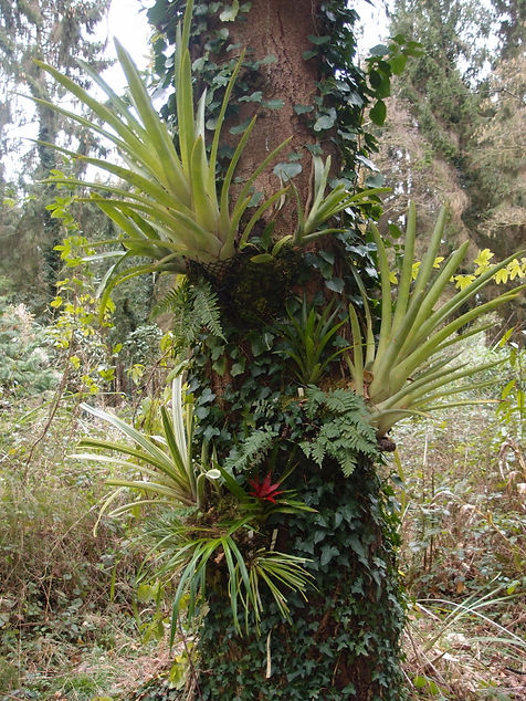 cold hardy bromeliad & orchids.JPG