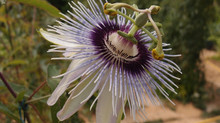 Passiflora 'jardin jungle 34'
