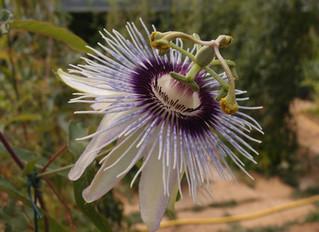 Passiflora 'jardin jungle 34'