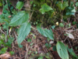 Rhaphidophora peepla, cold hardy Rhaphidophora, jardin jungle