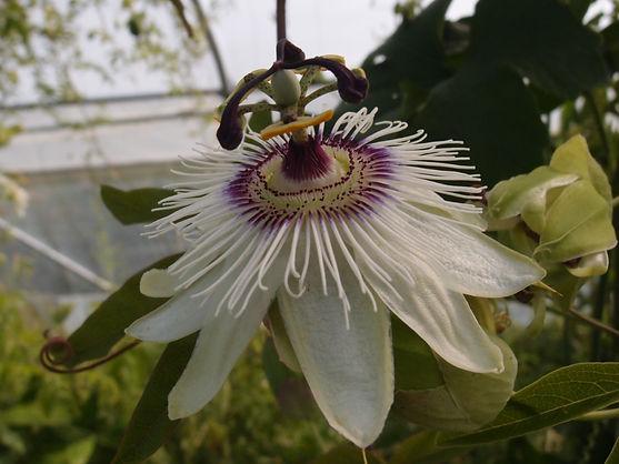 Passiflora 'jardin jungle 31' passiflores rustiques