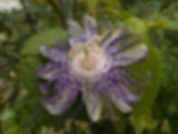 Passiflora 'jardin jungle 54'.JPG