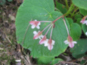 Begonia asperifolia CHB07.CH85, Jardin exotique Karlostachys, Jardin en Normandie