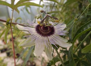 Passiflora 'jardin jungle 40'