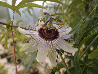 Passiflora 'jardin jungle 40'