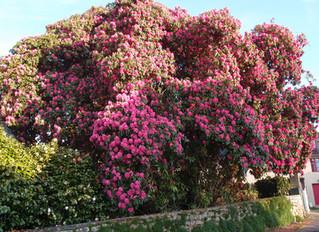 Rhododendron 'smithii' (Cornish Red) / Southamptonia