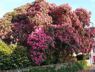 Rhododendron 'smithii' (Cornish Red) / Southamptonia