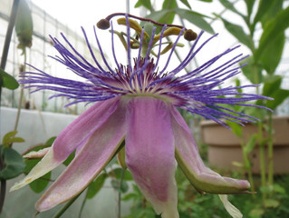 Passiflora hyb CHB15.X13C