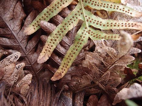 Drynaria sinica, jardin jungle