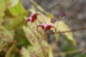 Epimedium x Delabroye 2013 n18, jardin jungle karlostachys, parc en normandie