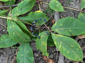 Gamblea ciliata CHB14.CH67, Jardin jungle karlostachys