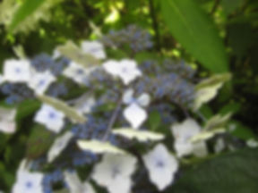 Hydrangea macrophylla 'nadeshiko gaku', a visit to karlostachys jungle garden in normandy