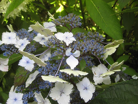 Hydrangea macrophylla 'nadeshiko gaku', a visit to karlostachys jungle garden in normandy
