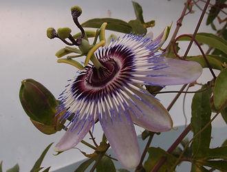 Passiflora 'jardin jungle 85', passiflore rustique du jardin exotique le jardin jungle