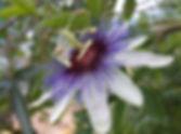 Passiflora 'jardin jungle 13', passiflore résistante au froid