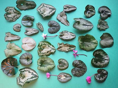 Cyclamen rustique, jardin jungle, normandie
