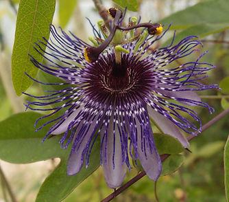 Passiflora 'Jardin Jungle 110.jpg