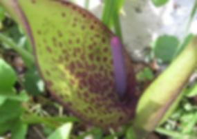 Arum dioscoridis cyprium, karlostachys jungle garden in Normandy