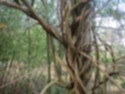 Wisteria venusta 'Alba', jardin jungle, normandie