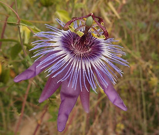 Passiflora 'jardin jungle 100' passiflores résistantes au froid