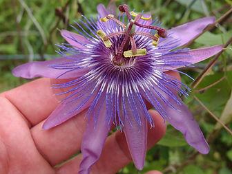 Passiflora 'Jardin Jungle 108', Winter hardy passion flowers