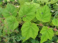 Rubus moershanensis?? sp Maser Shan