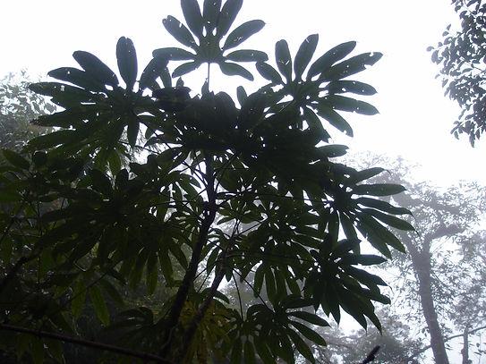 Brassaiopsis dumicola CHB18.V12.JPG