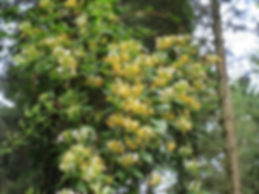 Lonicera similis delavayi au jardin jungle, jardin a visiter en normandie