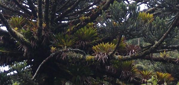 Vriesea itatiaiae-cold hardy Bromeliads-jardin jungle