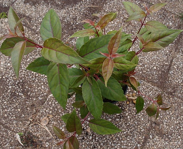 Fuchsia 'Jardin Jungle 6'.jpg