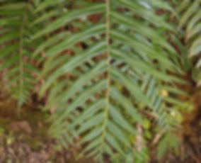 Plagiogyria pycnophylla CHB14.CH12, jardin jungle karlostachys, jardin a visiter en normandie