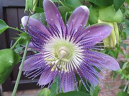 Passiflora 'Nicole' , jardin jungle, normandie