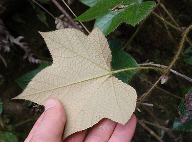 Rubus sp CHB16.CH54, jardin jungle