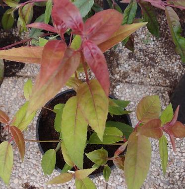 Fuchsia 'Jardin Jungle 17'.jpg